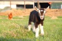 goat-2403566