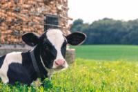 cow-2559383