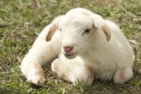 Oveja_Lamb